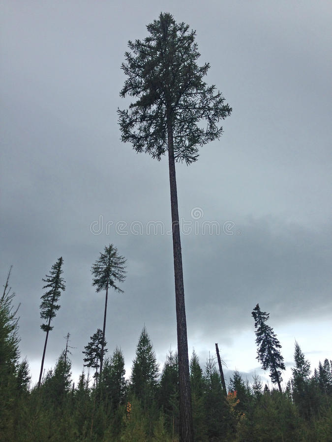 Einzige Kiefer in Autumn Forest lizenzfreie stockfotografie