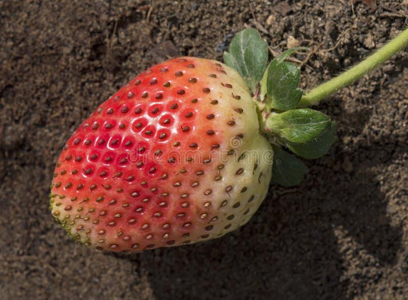 Einzige reifende Erdbeere mit Kappe und Stamm lizenzfreie stockbilder