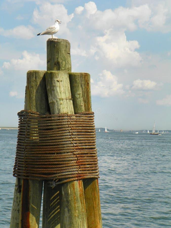 Einzige Seemöwe auf hölzerner Pieranhäufung auf Ozeanküste in Massachusetts lizenzfreie stockbilder