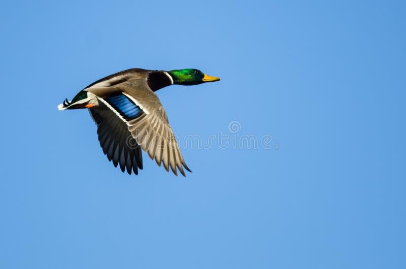 Einzige Stockente Duck Flying in einem blauen Himmel stockfotos
