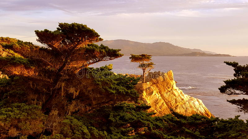 Einzige Zypresse Monterey stockfotografie