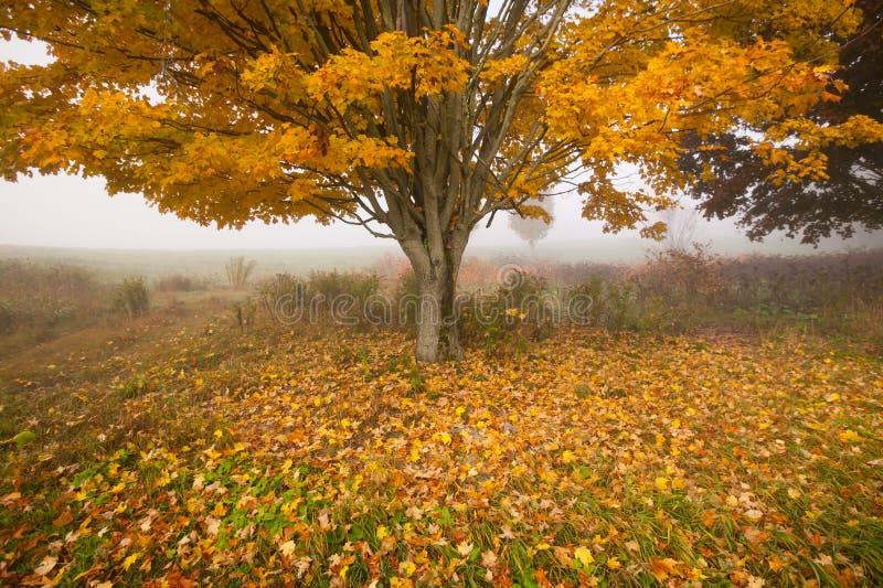 Einziger Ahornbaum auf einem nebeligen Fallmorgen in Vermont, USA stockfoto