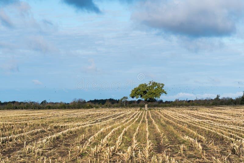 Einziger Baum auf einem Stoppelgebiet lizenzfreie stockfotos