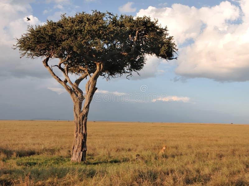Einziger Baum auf Masai Mara stockbilder