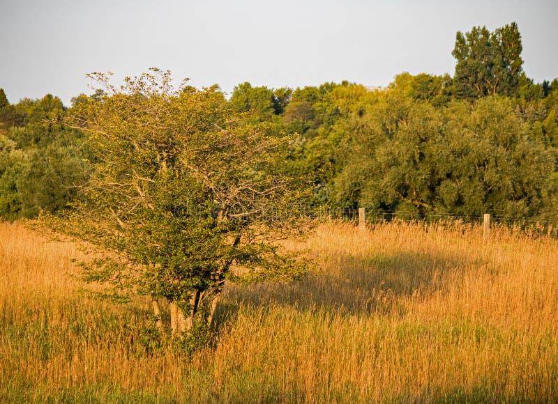 Einziger Baum in einer Wiese gebadet im goldenen Stunden-Licht lizenzfreie stockfotos