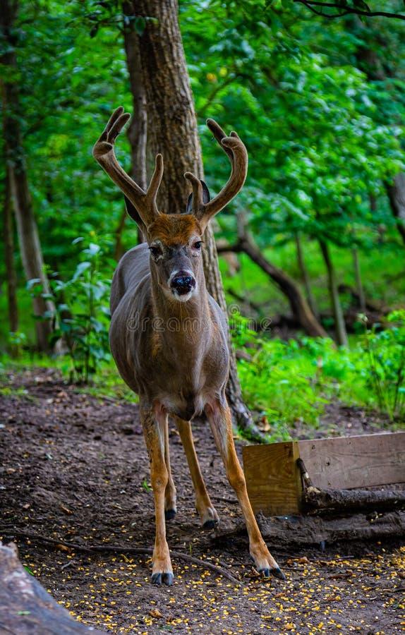 Einziger Blick auf die Kamera - wildes Tier in Gefangenschaft lizenzfreies stockbild