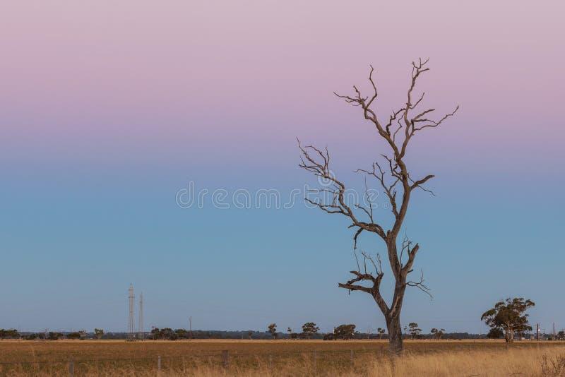 Einziger bloßer trockener Baum auf dem gelben Gebiet an der rosa Dämmerung stockfotografie