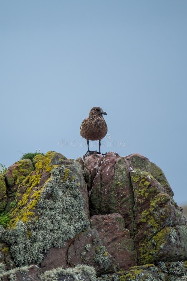 Einziger brauner Seevogel steht auf die Felsen, die in der bunten Flechte bedeckt werden Fotografiert auf dem treibenden Weg der  lizenzfreies stockfoto