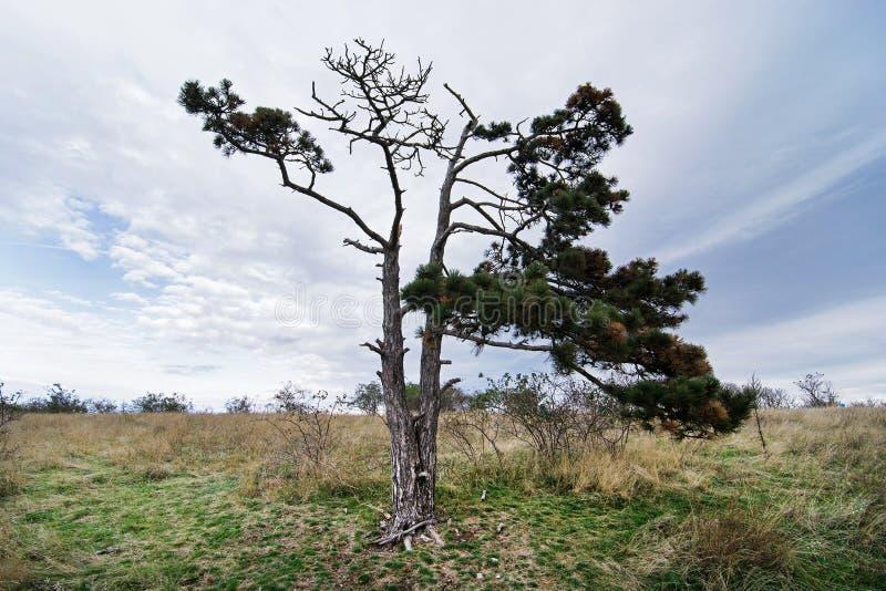 Einziger immergrüner Baum stockbilder