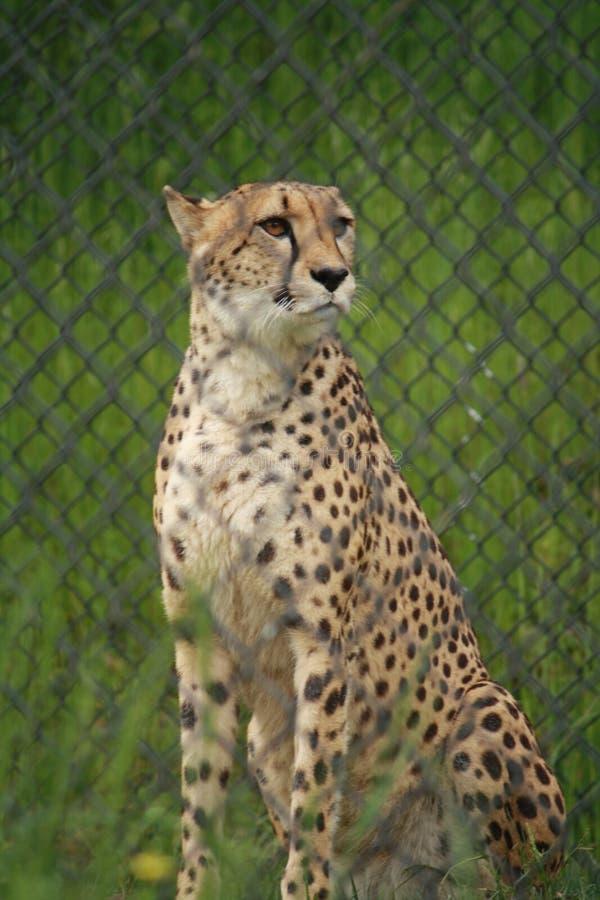 Einziger stehender Gepard stockfotografie