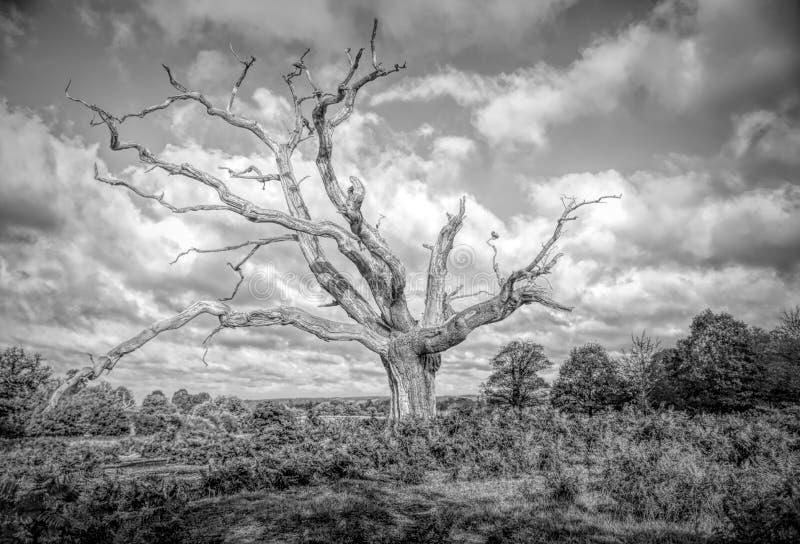 Einziger toter Baum lizenzfreie stockfotografie