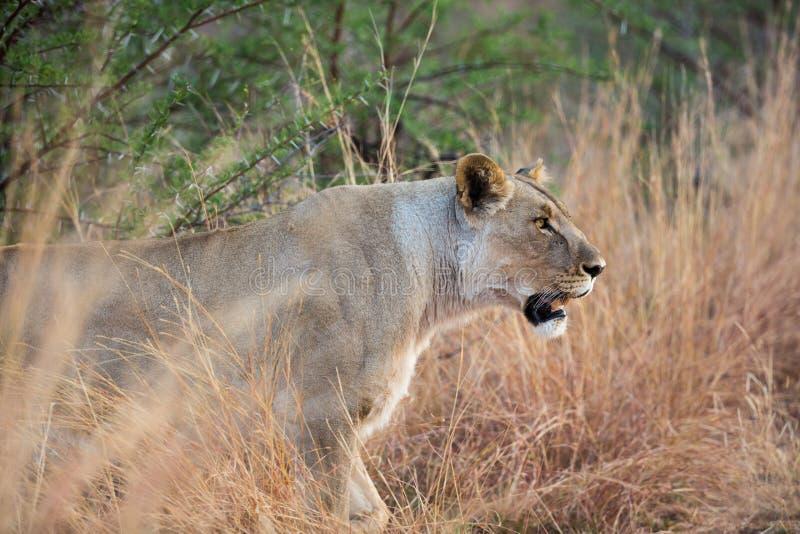 Einziger weiblicher Lion Panthera Löwe auf dem Prowl an Nationalpark Pilanesberg, Südafrika lizenzfreies stockfoto