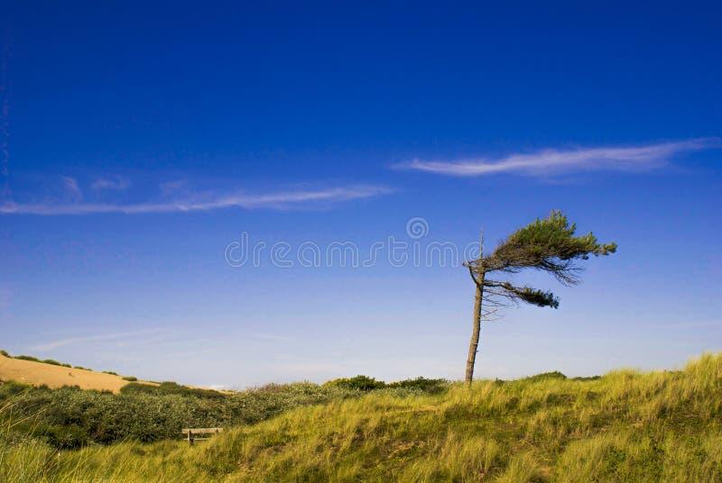 Einziger windswept Baum an Formby-Strand stockfoto