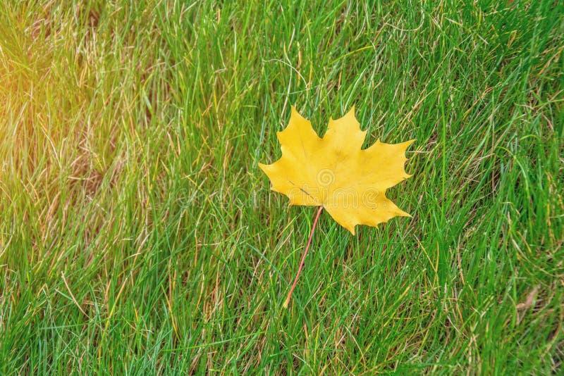 Einziges gelbes Ahornblatt auf grünem Gras stockbild