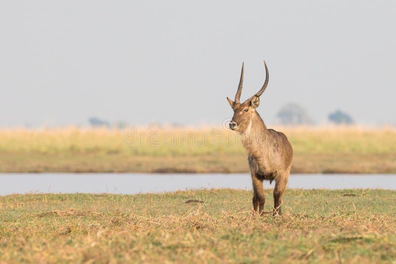 Einziges männliches waterbuck stockbilder