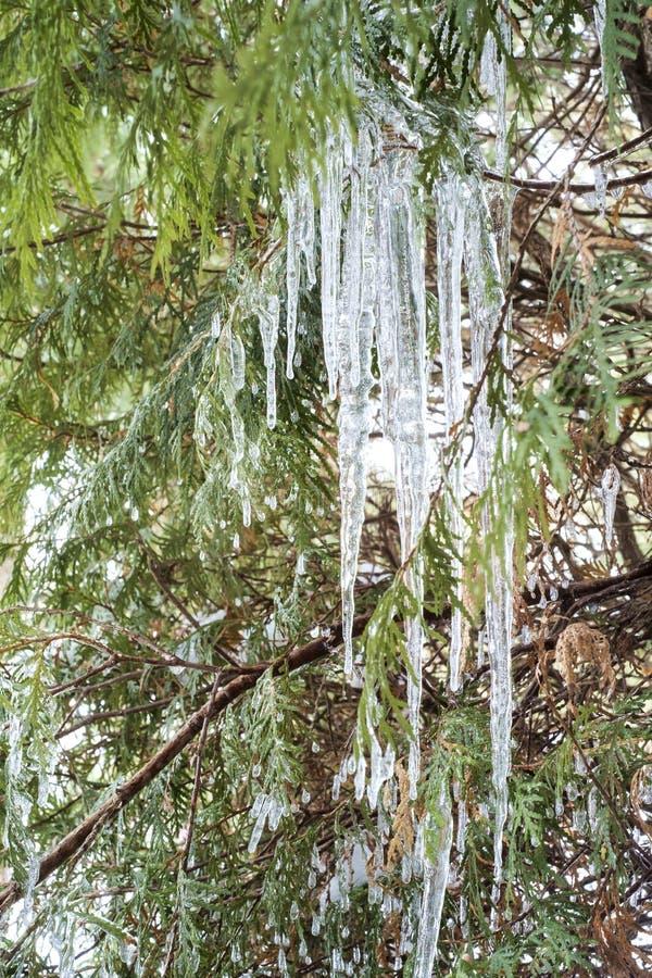 Eis in einer Zeder drei stockbild