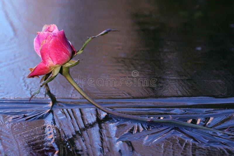 Eis Rose lizenzfreies stockbild