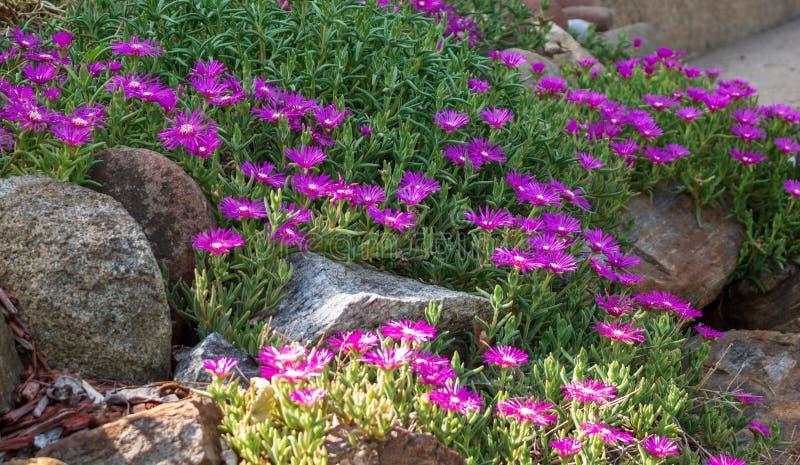 Eisanlage, die in einem Steingarten blüht stockfotos