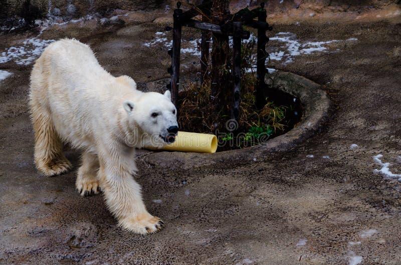 Eisbär an Asahiyama-Zoo stockfotos