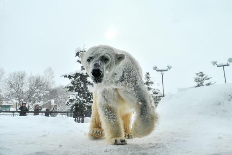 Eisbär (Asahiyama-Zoo, Japan) lizenzfreie stockfotos
