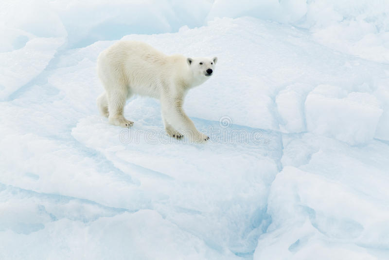 Eisbär bei Svalbard stockbilder