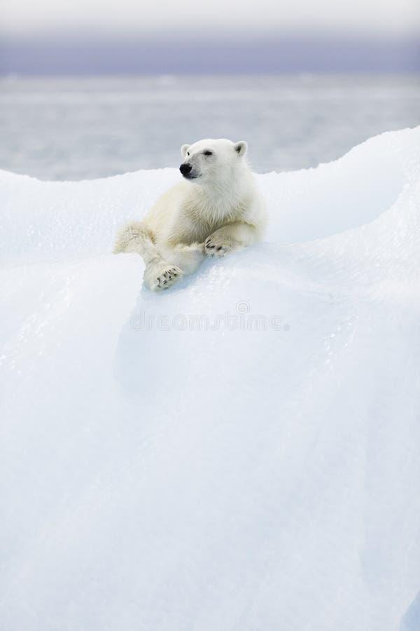 Eisbär bei Svalbard stockbild
