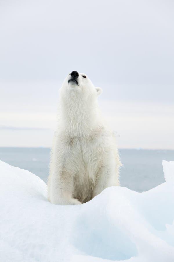 Eisbär bei Svalbard stockfotos
