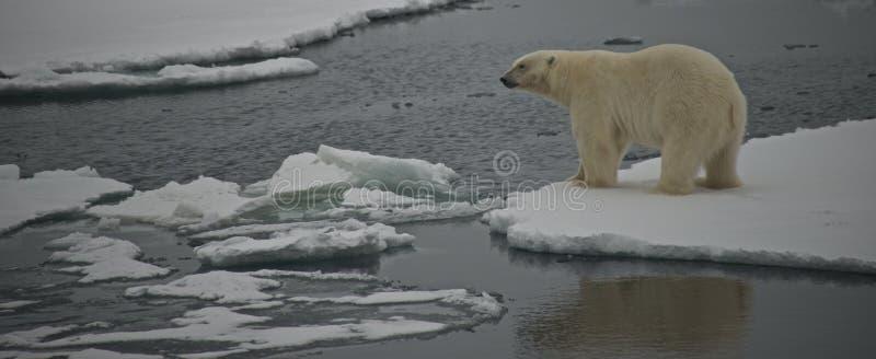 Eisbär, der über Wasser in der Arktis anstarrt stockfoto