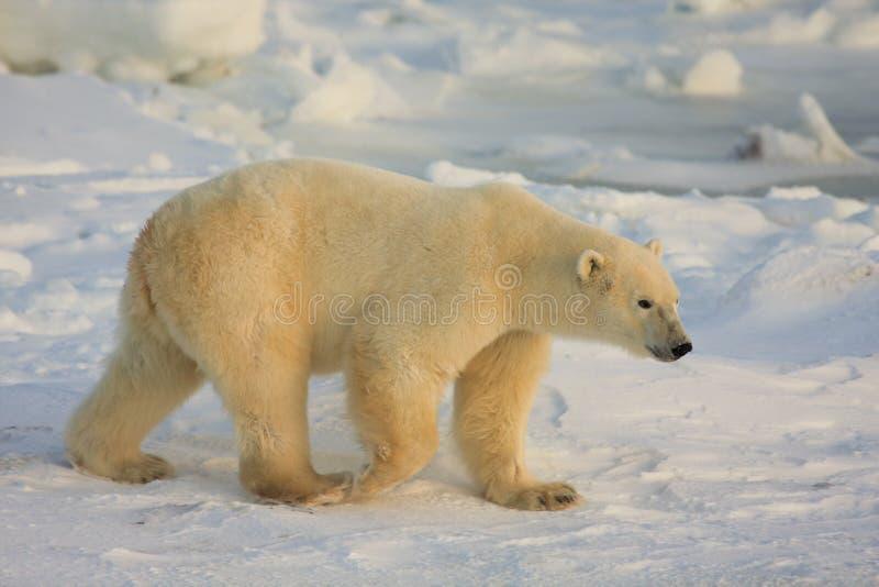 Eisbär in der Arktis lizenzfreies stockbild