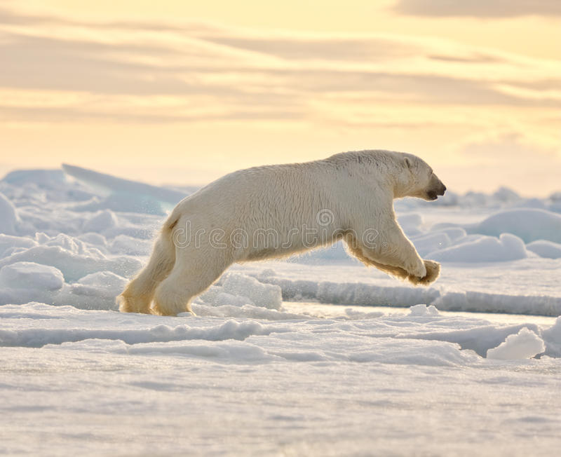 Eisbär, der in den Schnee springt stockfotografie