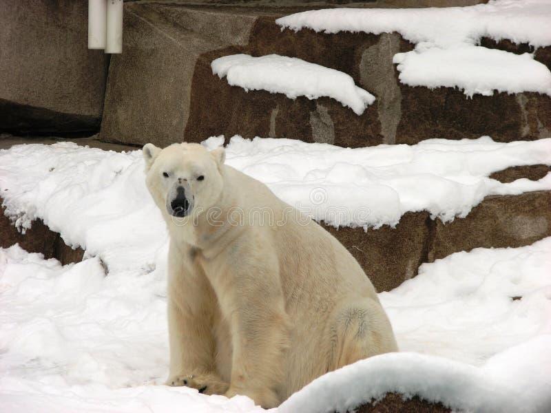 Eisbär, der den Zuschauer auf Milwaukee-Zoo betrachtet lizenzfreies stockbild