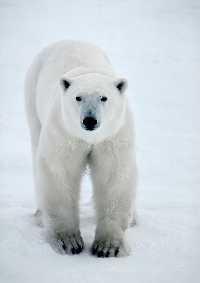 Eisbär in der kanadischen Arktis stockbild