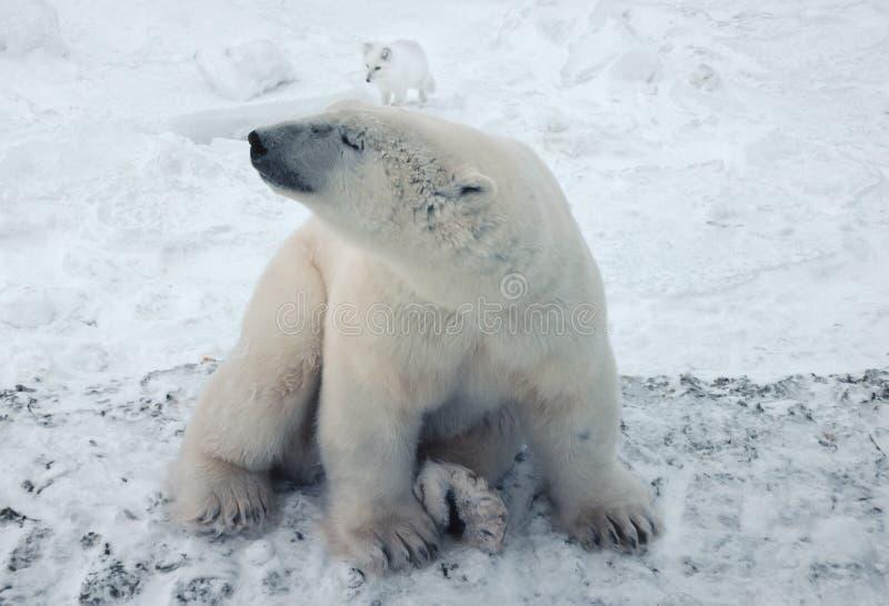 Eisbär in der kanadischen Arktis lizenzfreie stockbilder