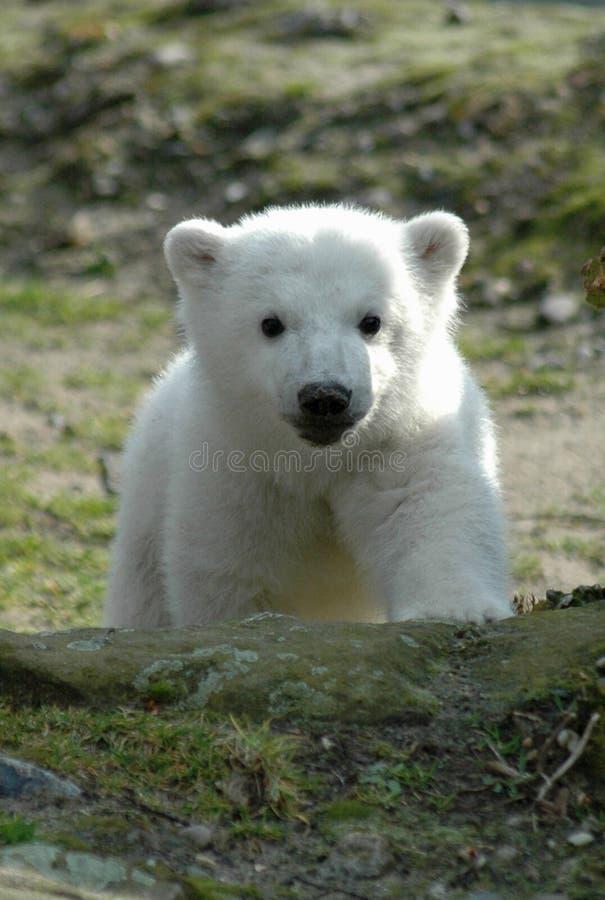 Eisbär Knut lizenzfreie stockfotografie