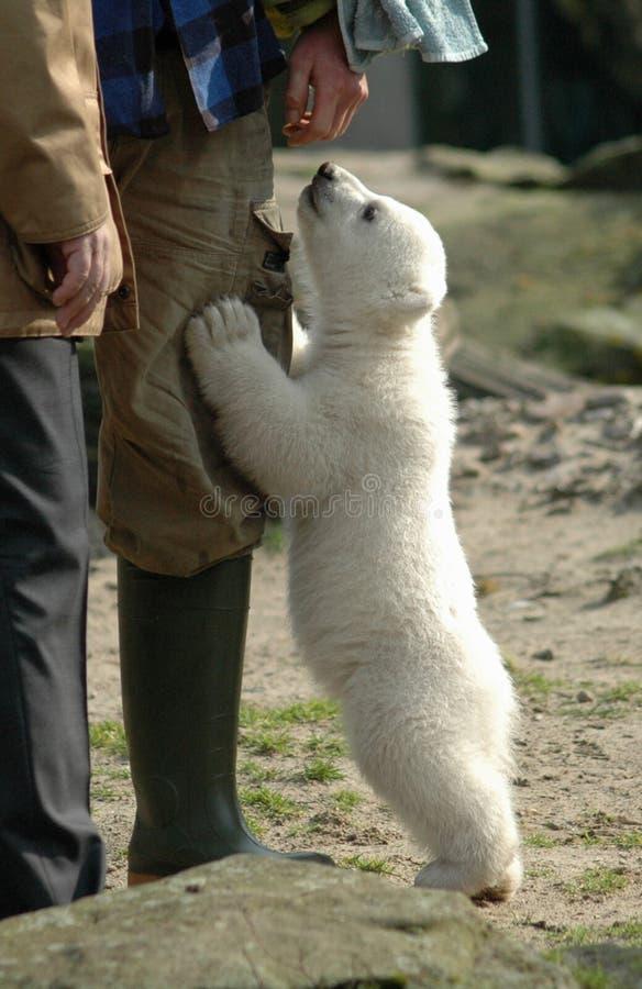 Eisbär Knut stockbilder