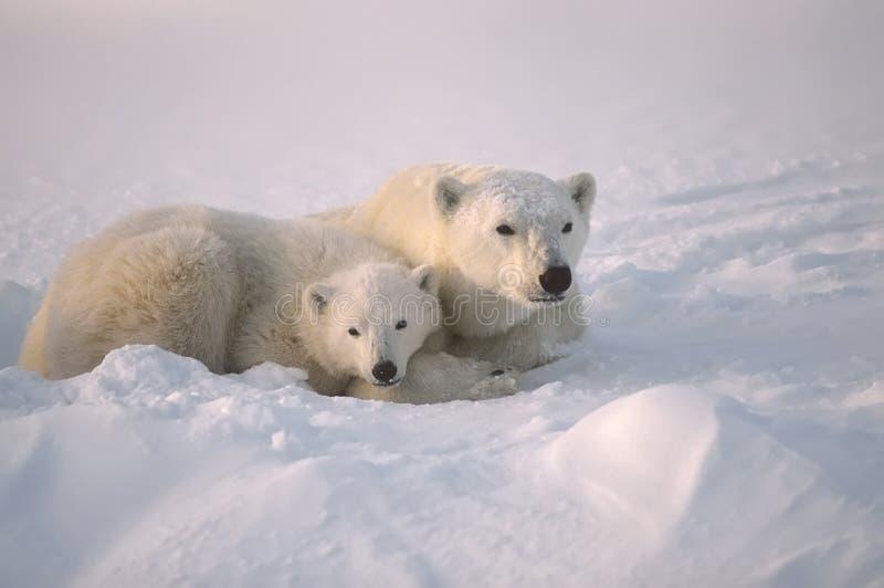 Eisbär mit ihrem Jungen stockbilder