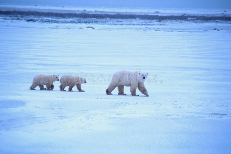 Eisbär-Mutter und CUB stockfotografie