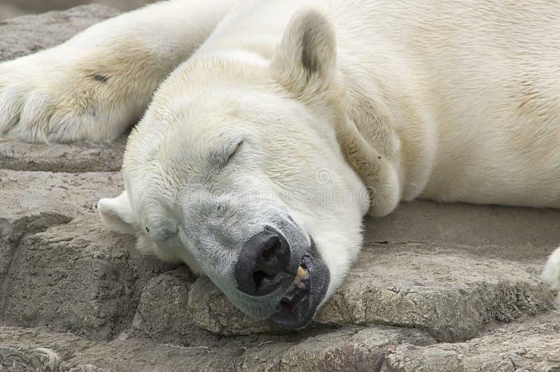 Eisbär-Schlafen stockfotos