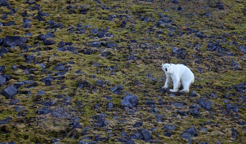 Eisbär in Sommer Arktis stockfoto
