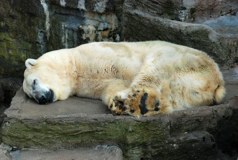 Eisbär - tief in den Träumen stockfoto
