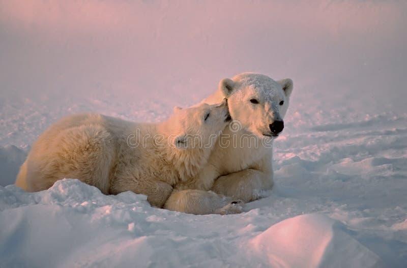 Eisbär und Junges stockfotos