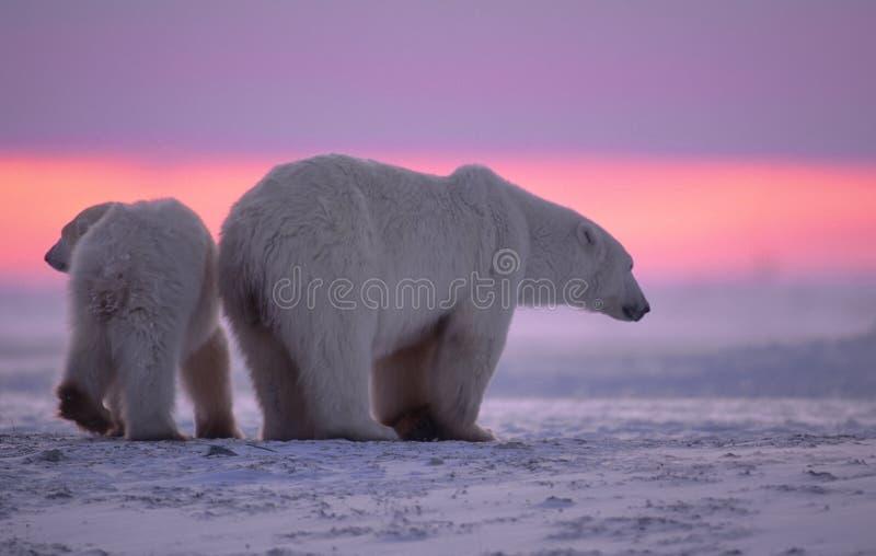 Eisbär und Junges am Sonnenuntergang lizenzfreie stockfotos
