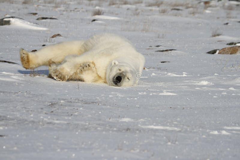 Eisbär, Ursus Maritimus, den Schnee an einem sonnigen Tag herum rollend stockfotografie