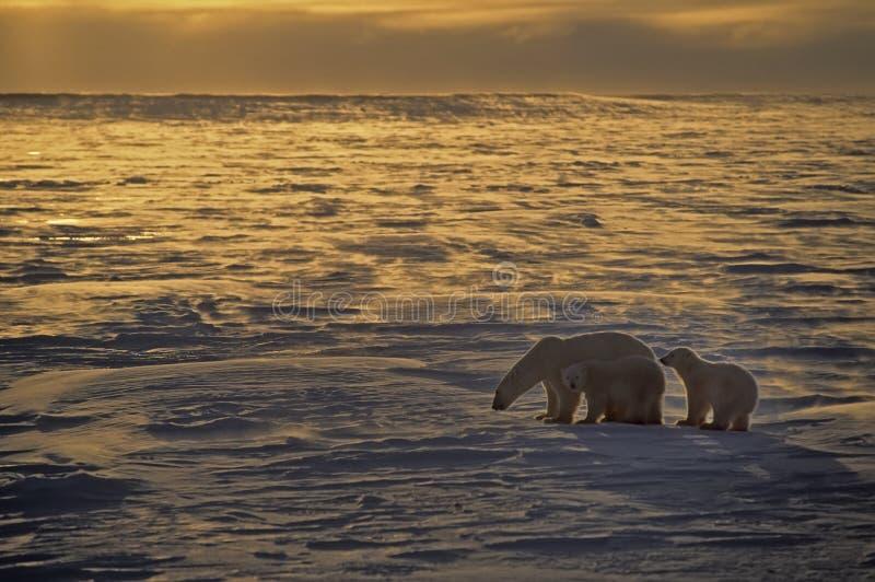 Eisbären lizenzfreies stockbild