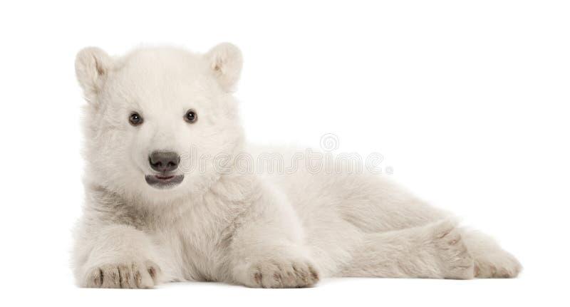 Eisbärjunges, Ursus maritimus, 3 Monate alte lizenzfreie stockbilder