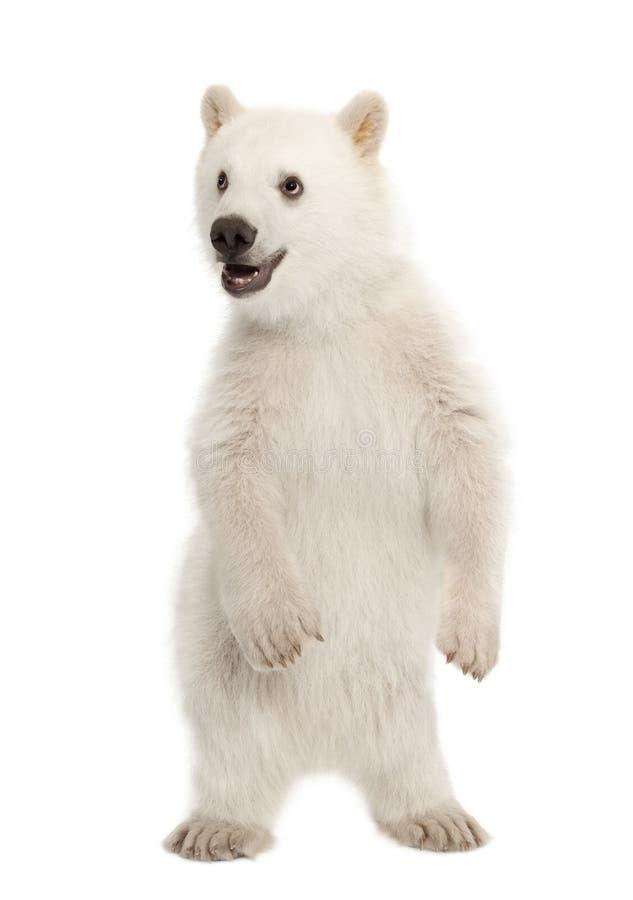 Eisbärjunges, Ursus maritimus, 6 Monate alte lizenzfreies stockbild
