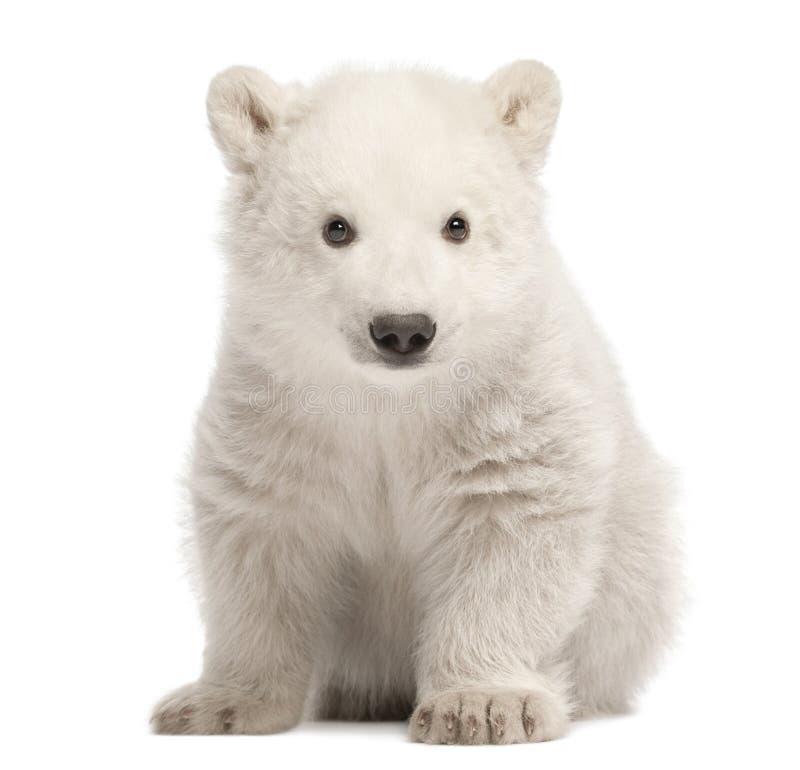 Eisbärjunges, Ursus maritimus, 3 Monate alte, sitzend gegen w lizenzfreie stockfotos