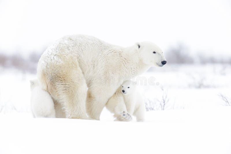 Eisbärmutter mit zwei Jungen lizenzfreies stockbild