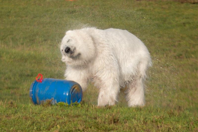 Eisbärrütteln trocken lizenzfreie stockfotos