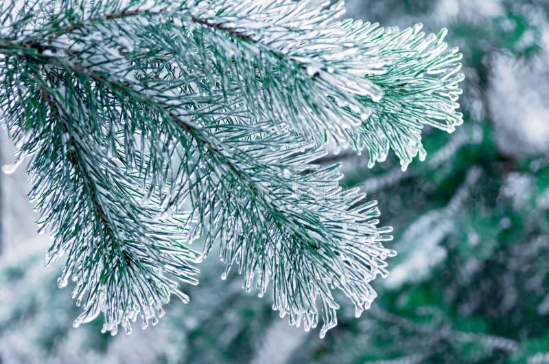 eisbedeckte Kiefernäste Regen einfrieren Nahaufnahme lizenzfreie stockfotos